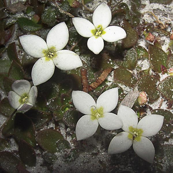 Houstonia procumbens 2