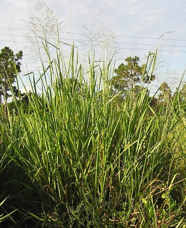 Switch Grass (by JB)