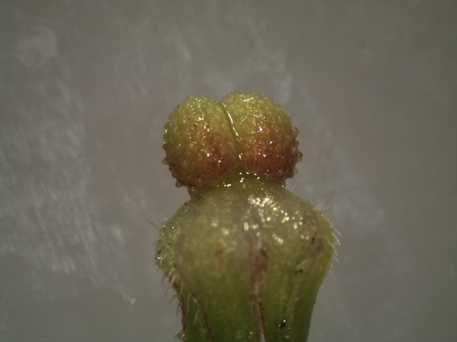 Two bumpy fruit segments. The structure below the twin segments is the semi-persistent calyx (set of sepals).