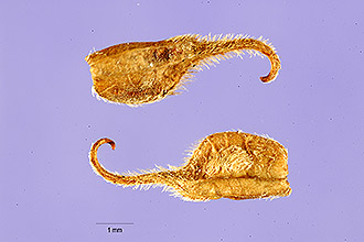 Hooked Stylosanthes segments, by Tracey Slotta, USDA (permitted use).