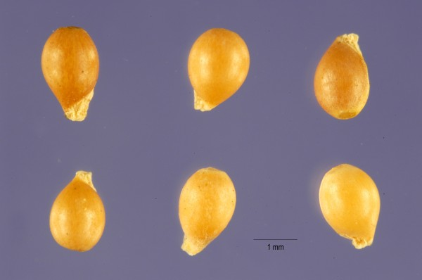 Violet seeds with food packets for ants. (By Jose Hernandez, USDA Database, permitted use.)