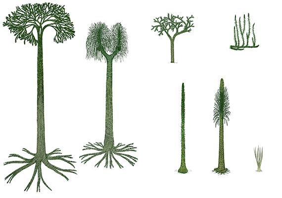 Carboniferous and older Fern Allies.  The ones on the left were 70 feet tall. (From Stanford University)