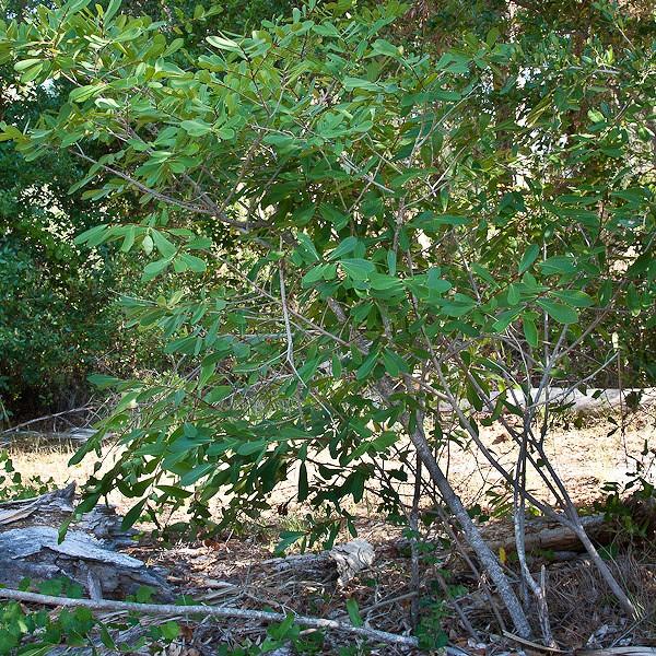Four-Petal PawPaw near Jensen Beach (by JB)