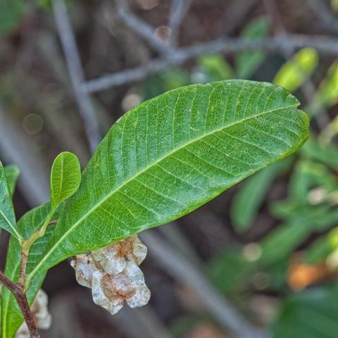 Dodonaea viscosa 2