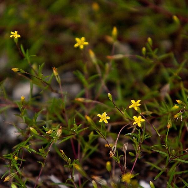 Pectis flowers (by JB)