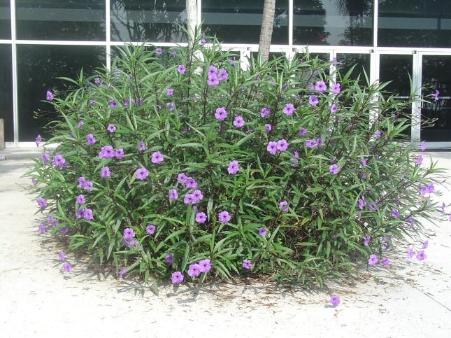 """Mexican Petunia"" is not Mexican, and is not a Petunia.  It remains popular in landscapes despite being a Category I Invasive Exotic invader."
