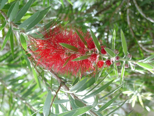 "Bottlebrush, or let's just say ""Red Melaleuca."""