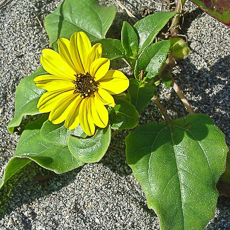 Little Beach Sunflower (by JB)