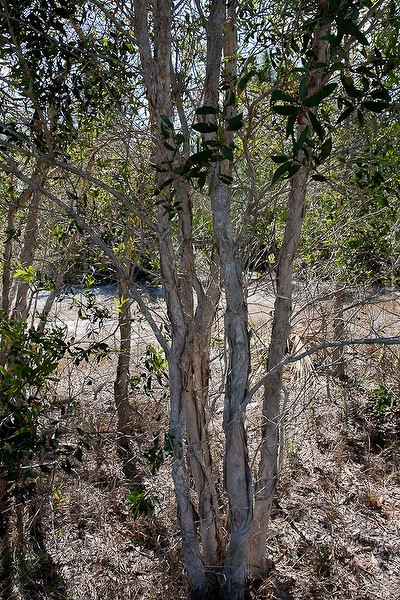 Melalaeuca bark