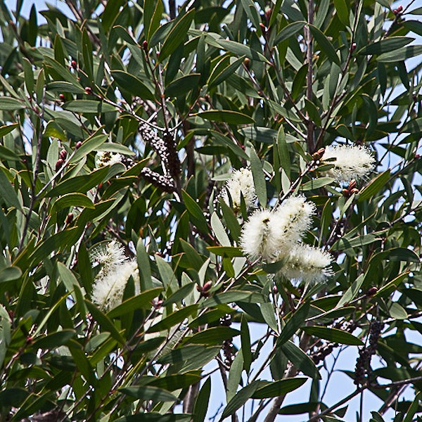 Melaleuca flowers (JB)