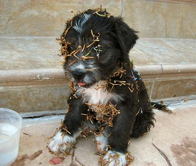 Arni got into the Plumbago patch (http://www.cyprus-travel-secrets.com/arni-the-new-cute-dog-around-our-cyprus-house.html)