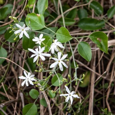 Brazilian Jasmine (invasive species, JB)