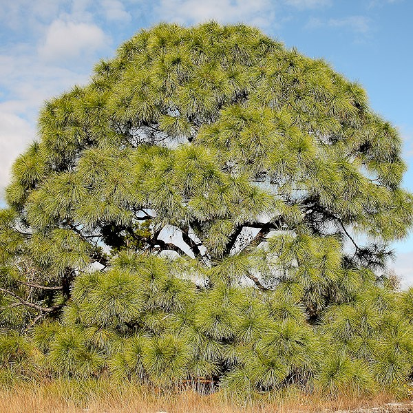 All photos are Pinus elliottii, by JB