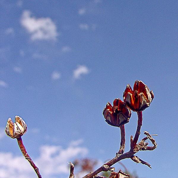 Fetterbush ripe capsules