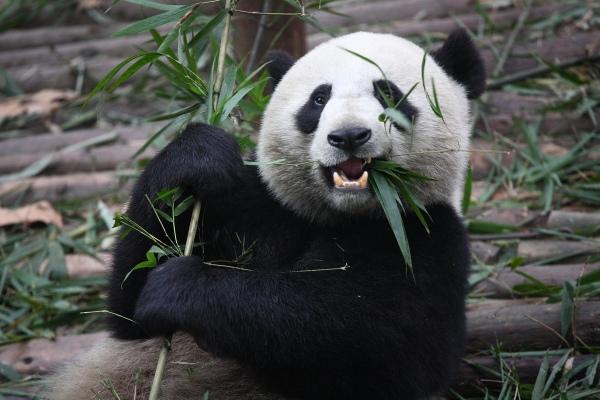Panda-Pictures-16