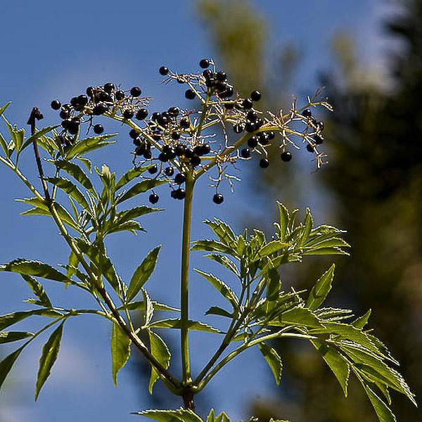 Elderberry berries.  Don't bite the seeds. (JB)