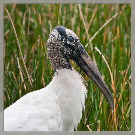Wood Stork (by JB)