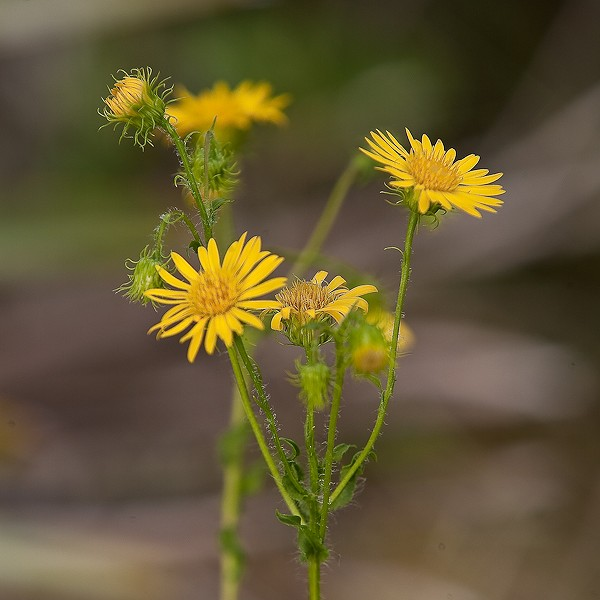 Golden-Asters