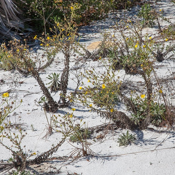 Golden-Asters on the sand