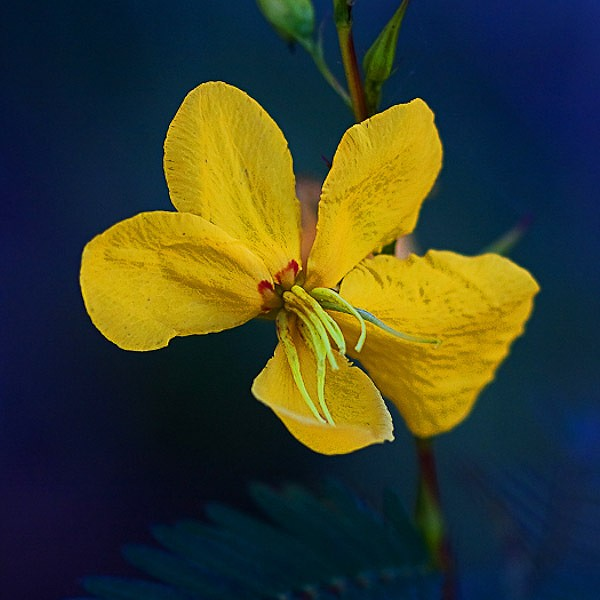 This photo (by JB) shows the short stamens and the longer ones.