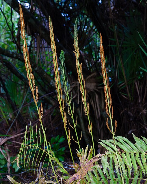Cinnamon Fern with cinnamon sticks bearing spores (JB)