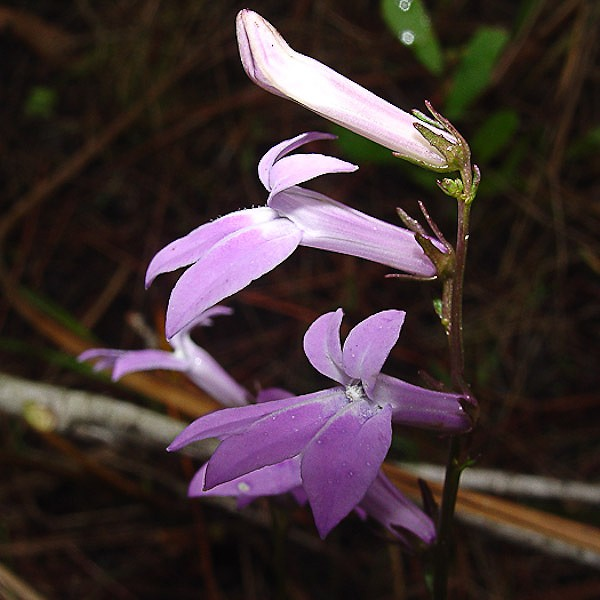 Lobelia glandulosa (by JB)