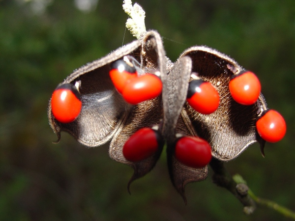 In Rosary Pea, an introduced vine, the seeds are bicolored red and black.