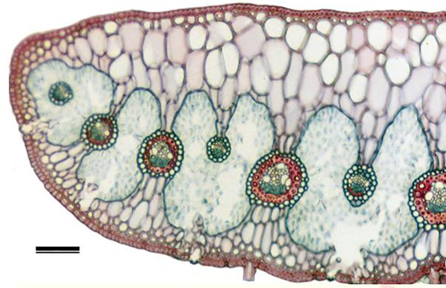 Corn leaf anatomy