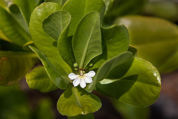 Beach Naupaka, the invasive exotic species, with curled leaves.