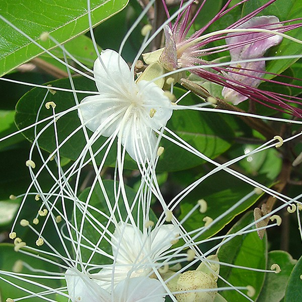 Capparis cyanophallophora close