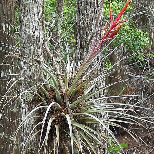 Cardinal Airplant, Tillandsia fasciculata