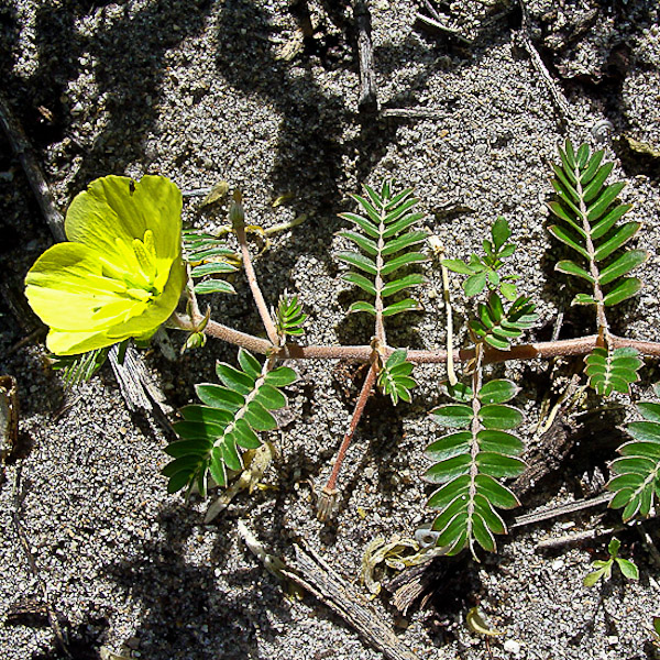 Puncture Vine (by John Bradford). The opposite (paired) compound leaves look ferny.