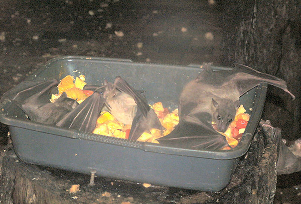 Egyptian Fruit Bats at the midnight buffet. (From animal.memozee.com)