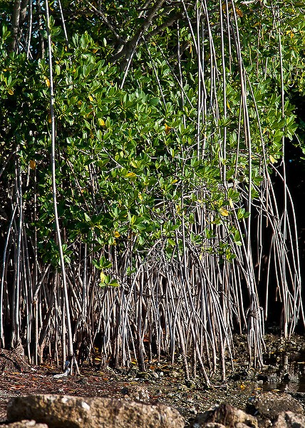 Mangrove headed north! (By John Bradford)