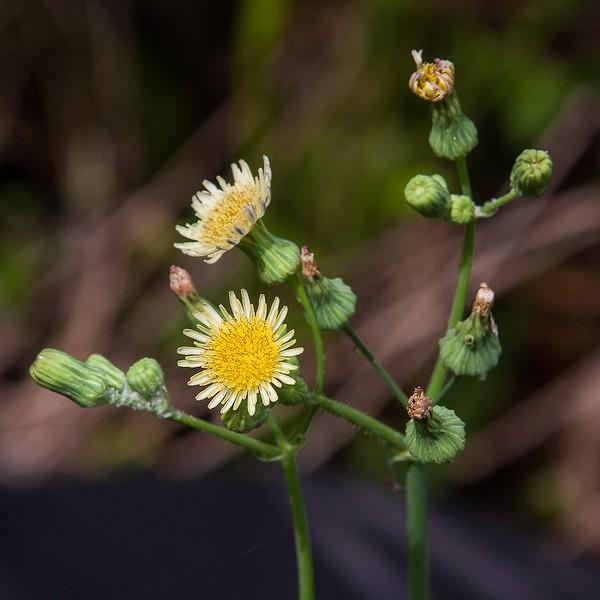 Sonchus asper (similar to S. oleraceus) .  All photos today by John Bradford.
