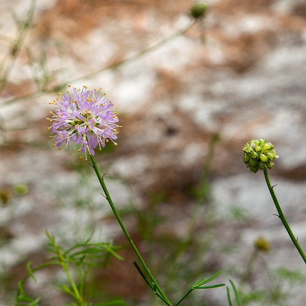 Feay's Prairie Clover Friday 9/5/14.  All photos today by John Bradford.