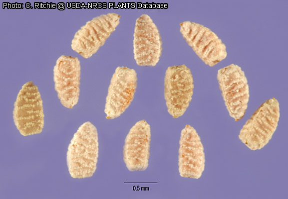 Chamaesyce seeds with presumed mucilage-bumps.  Photo from USDA, by Carole Ritchie.