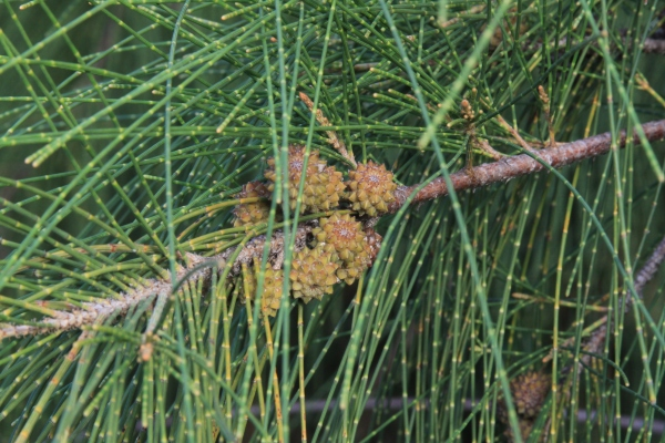 Casuarina clusters of immature bracts (specialized leaves) with fruits hidden among the bracts (by John Bradford).  The