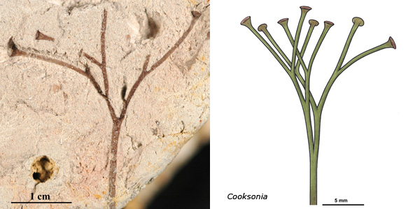 Cooksonia, on left fossil approx. 400 million years old, and on the right a reconstruction.   Note the Y-shaped branching, and the spore cases (resembling buttons).