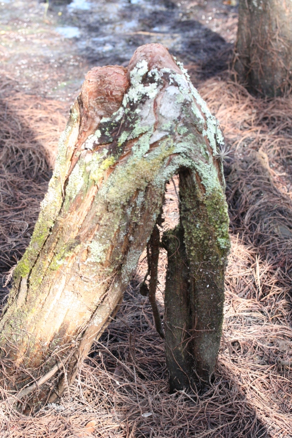 Knees often form on arched roots.