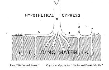 taxodium lamborn