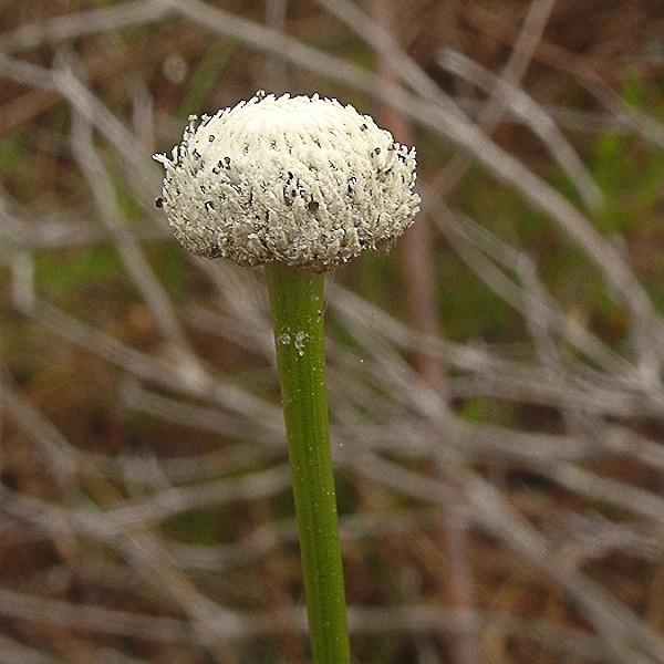 Ten-angle pipestem flower head (by John Bradford)