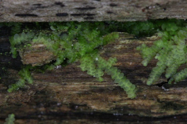 Leafy liverwort