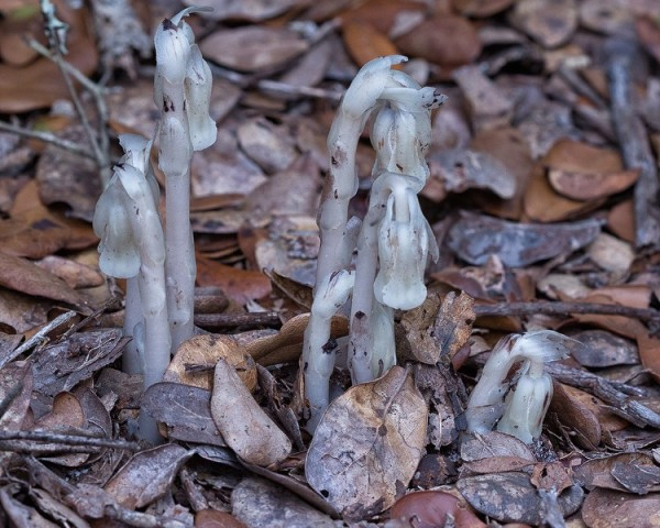 Indian pipes in flower.  By John Bradford
