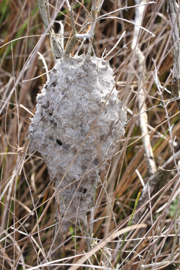 Ant nest in marsh.  Crematogaster atkinsoni?