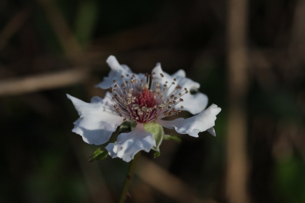 Blackberries are in bloom now.  Look like little roses, don't they?