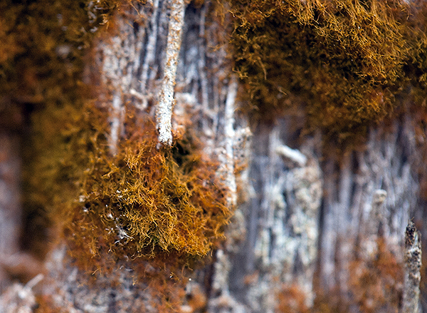 Trentepohlia up close on tree