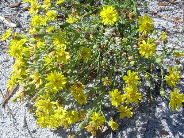 Heterotheca subaxillaris (by John Bradford)