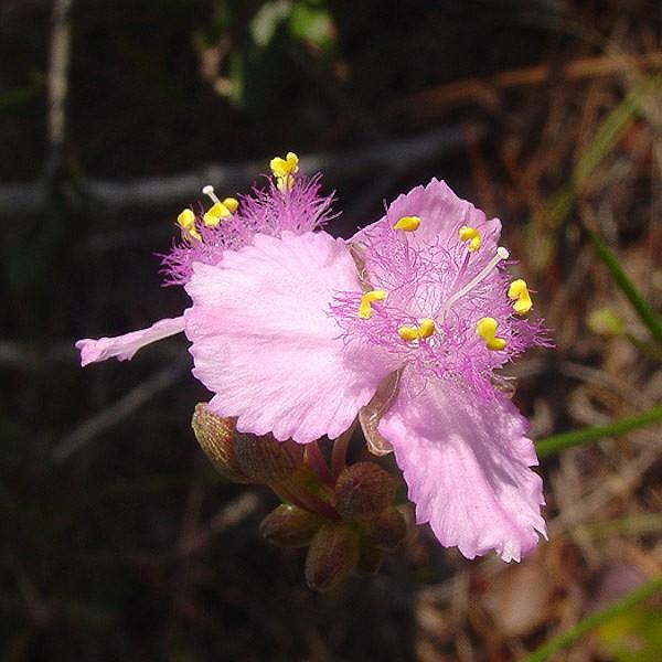 Roseling (Callisia ornata) showing htsoe delicate Commelinaceae radiation-sensitive hairs (by John Bradford)
