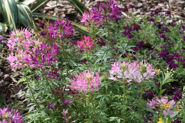 Cleome in the garden
